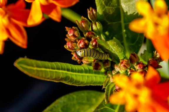 Monarch Caterpillar Trying to Eat a Milkweed Flower in Garden Street Academy Garden?