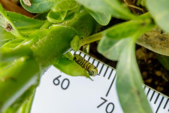 Monarch Caterpillar Facing Camera with View of Sensory Tentacles in Garden Street Academy Garden