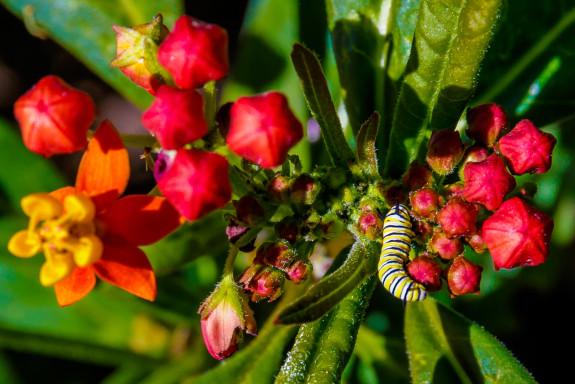 Monarch Caterpillar Eating Tropical Milkweed Flowers in Garden Street Academy Student Garden - Day 09
