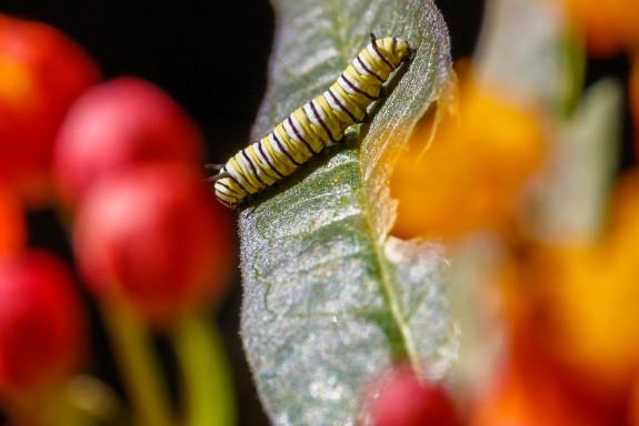 Monarch Caterpillar on Milkweed Leaf in Garden Street Academy Student Garden - Day 09