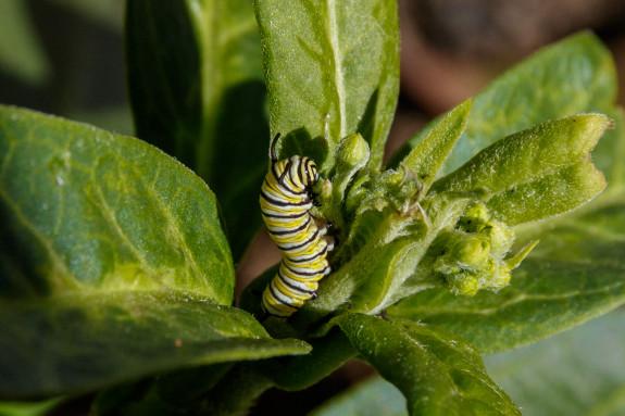Monarch Caterpillar Feasting on Milkweed Flower Bud in Garden Street Academy Student Garden - Day 10