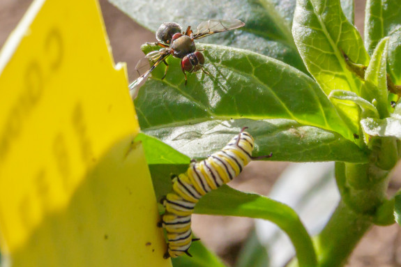 Monarch Caterpillar Encounter with Fly in Garden Street Academy Student Garden - Day 10