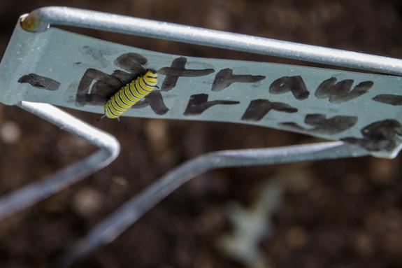 Monarch Caterpillar on Plant Marker in Garden Street Academy Student Garden - Day 10