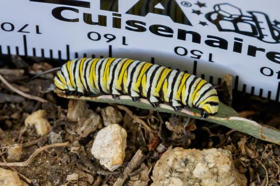 """Big Joe"" Monarch Caterpillar Next to Ruler in Garden Street Academy Garden - Day 14"