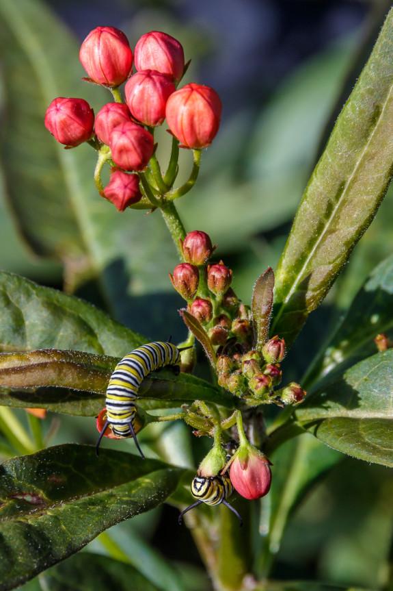 Monarch Caterpillars Eating Tropical Milkweed Flowers in Garden Street Academy Garden - Day 14