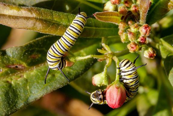 Closeup of Monarch Caterpillars Eating Tropical Milkweed Flowers in Garden Street Academy Garden - Day 14