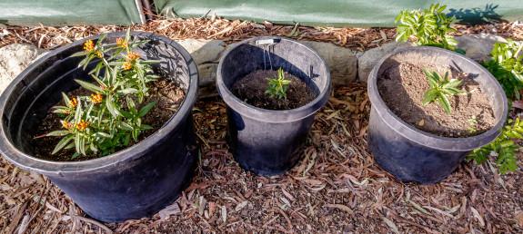 Milkweek Pots with Monarch Caterpillars in Garden Street Academy Garden