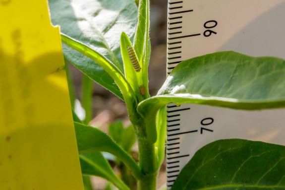 Monarch Caterpillar Versus Aphid in Garden Street Academy Garden Milkweed