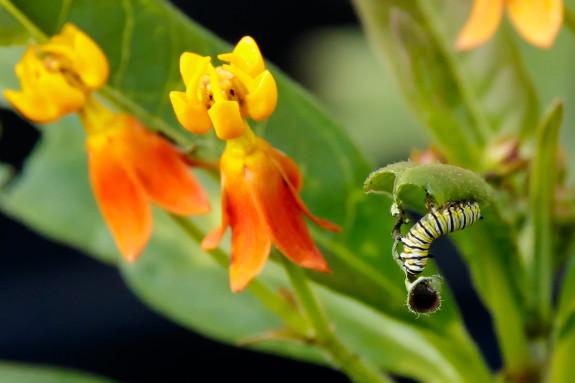 Monarch Caterpillar Finishes Off End of Milkweed Leaf in Garden Street Academy Garden