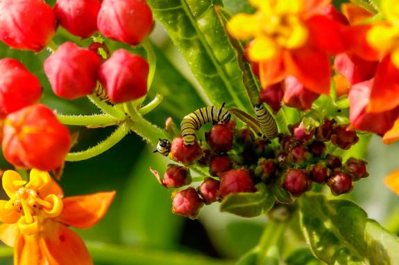 Four Monarch Caterpillars in Milkweed Flowers in Garden Street Academy Garden