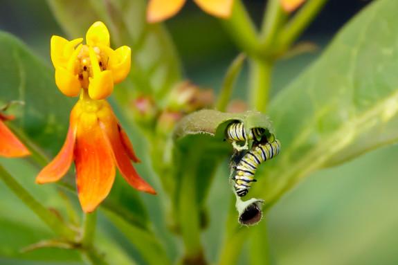 Two Monarch Caterpillar Eating End of Milkweed Leaf in Garden Street Academy Garden