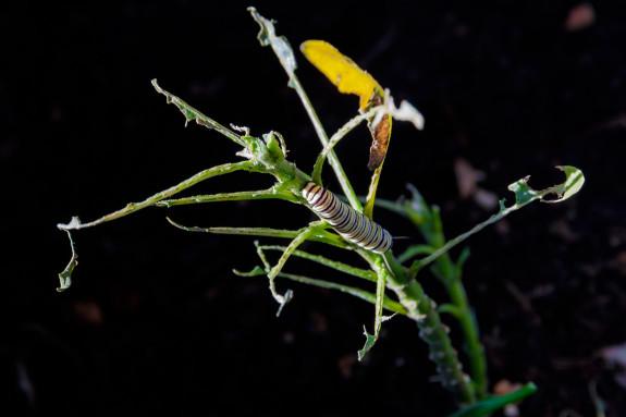 Monarch Caterpillar on Completely Eaten Milkweed Plant in Garden Street Academy Garden - Day 17